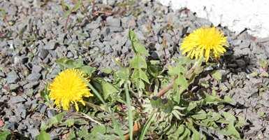 Våren er en vakker tid – blomstene springer ut, men dessverre har maur ofte en tendens til å springe inn… Slik bekjemper du de små vandrerne.