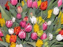 <br/><a href='https://www.ifi.no//tid-for-tulipaner'>Klikk her for å åpne artikkelen: Tid for tulipaner</a>