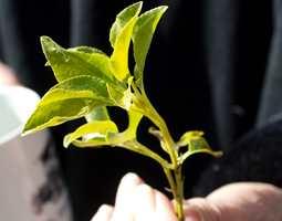 <b>VÅRYR:</b> Om våren så spretter de friske bladene ut fra tørre kvister og vi fryder oss. Fargespillet er lyst og lett, bladene er blanke og det strutter. Inspirasjon for en leken palett, nok til et helt hus.