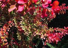 <b>FARGEFEST</b> Berberisens fargepalett har et utall nyanser i grønt, rosa-lilla, gult, oransje og rødt. (Foto: Trine Midtsem/ifi.no)