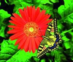 Kontrastfarger rundt oss: Kontrastfargenes evne til å framheve hverandre og tiltrekke seg oppmerksomhet er nyttig, også for en blomst som trenger insekter for å bli bestøvet.