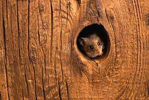Når musene trekker innendørs for å finne mat og holde varmen, er det viktig å sette inn mottiltak så fort som mulig, før de formerer seg til et mangedoblet antall. Her er noen gode tips!