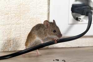 <b>BRANNFARLIG:</b> De små dyrene kan gjøre stor skade i boligen.