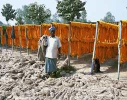 November i Bhadoi: Garnet tørkes ute i friluft.