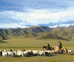 Ull til Tibet-tepper blir hentet fra sauer som helårsbeiter i 3-4.000 meters høyde på det tibetanske platå. Det gir noe av verdens beste ull til teppeproduksjon.