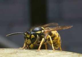 <b>PÅ SITT MESTE:</b> Veps holder bestanden av mygg og fluer nede. I tillegg fungerer de som pollinatorer. Bestanden når sitt maksimale på sensommeren.