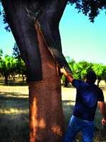 Korkeiken får ny bark etter høsting, og ni år senere er den moden for nok en høsting.